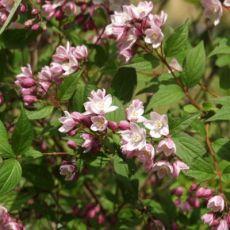 Deutzia Kalmiflora