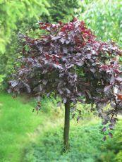 Fagus sylvatica purpurea pendula 3