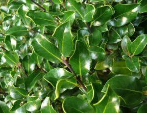 Ilex aquifolium J.C. Van Tol