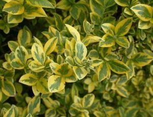 Ligustrum Vulgare Aureum