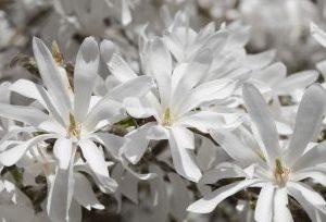 Magnolia Stellata1