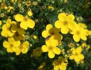 Potentilla Fruticosa Maanleys