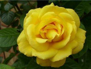 Rosa Arthur Bell001