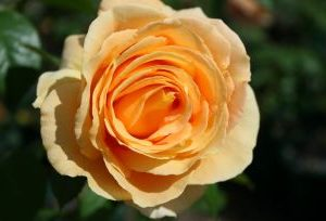 Rosa Candlelight3