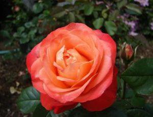 Rosa Queen of Hearts