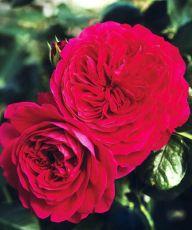 Rosa Red Leonardo Da Vinci