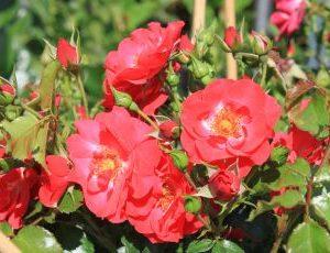Rosa Rotfassade