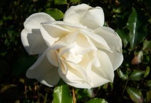 Rosa Schneeflocke