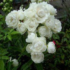 Rosa White Morsdag
