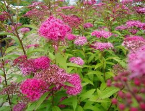 Spiraea Japonica Anthony Waterere