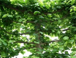Tilia euchlora Pallida 4