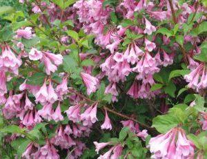 Weigela Bouquet Rose