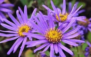 aster blue king2