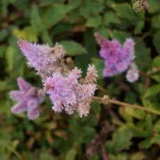 astilbe chinensis pumila2