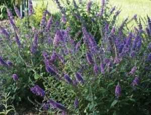 buddleja blue chip