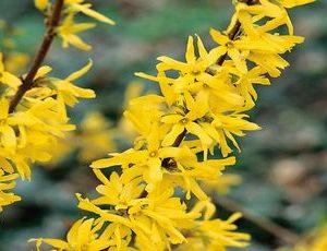 forsythia intermedia2