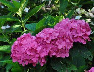 hydrangea bouguet rose2