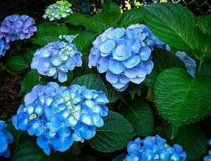 hydrangea nikko blue2