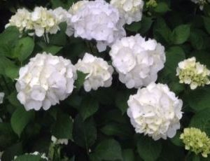 hydrangea wit