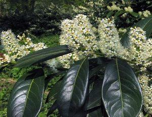 prunus laurocerasus herbergii2