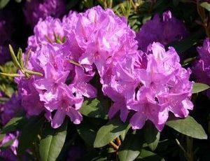 rhododendron cat grandiflora3