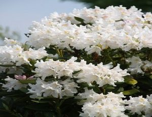 rhododendron cunningham white2