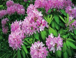 rhododendron flimmer