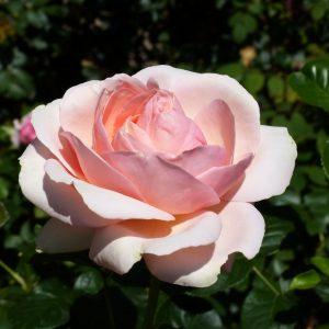 rosa aphrodite2