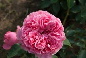 rosa bonica stamroos
