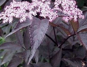 sambucus nigra black beauty3